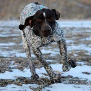 Abby German Shorthair Pointer