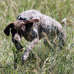 Aggy German Shorthair Pointer