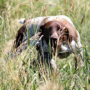 ginger german shorthair