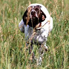 heidi german shorthair