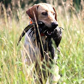 mossy labrador retriever