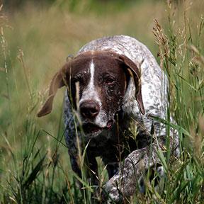 German Shorthair Pointer Dog Stud Nebraska