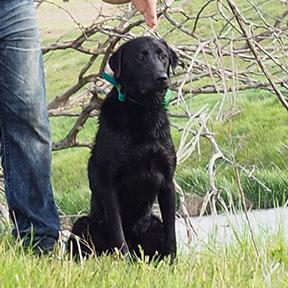 Scout Labrador Stud