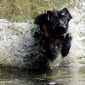 stryder labrador retriever
