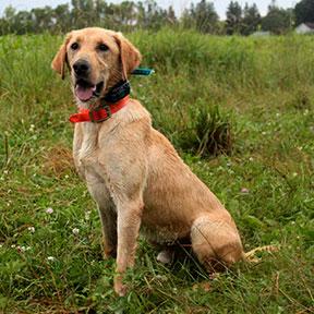 Labrador Dog Stud Pheasant Bonanza Nebraska