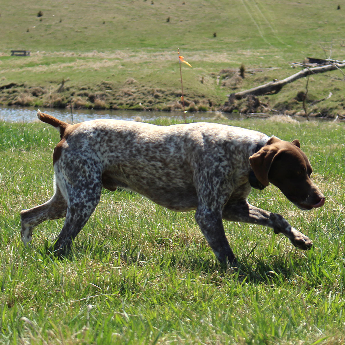 colt german shorthair