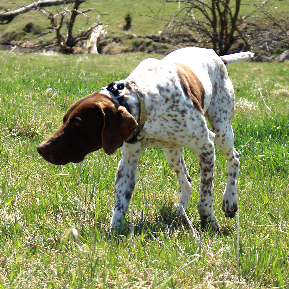 Gunner german shorthair