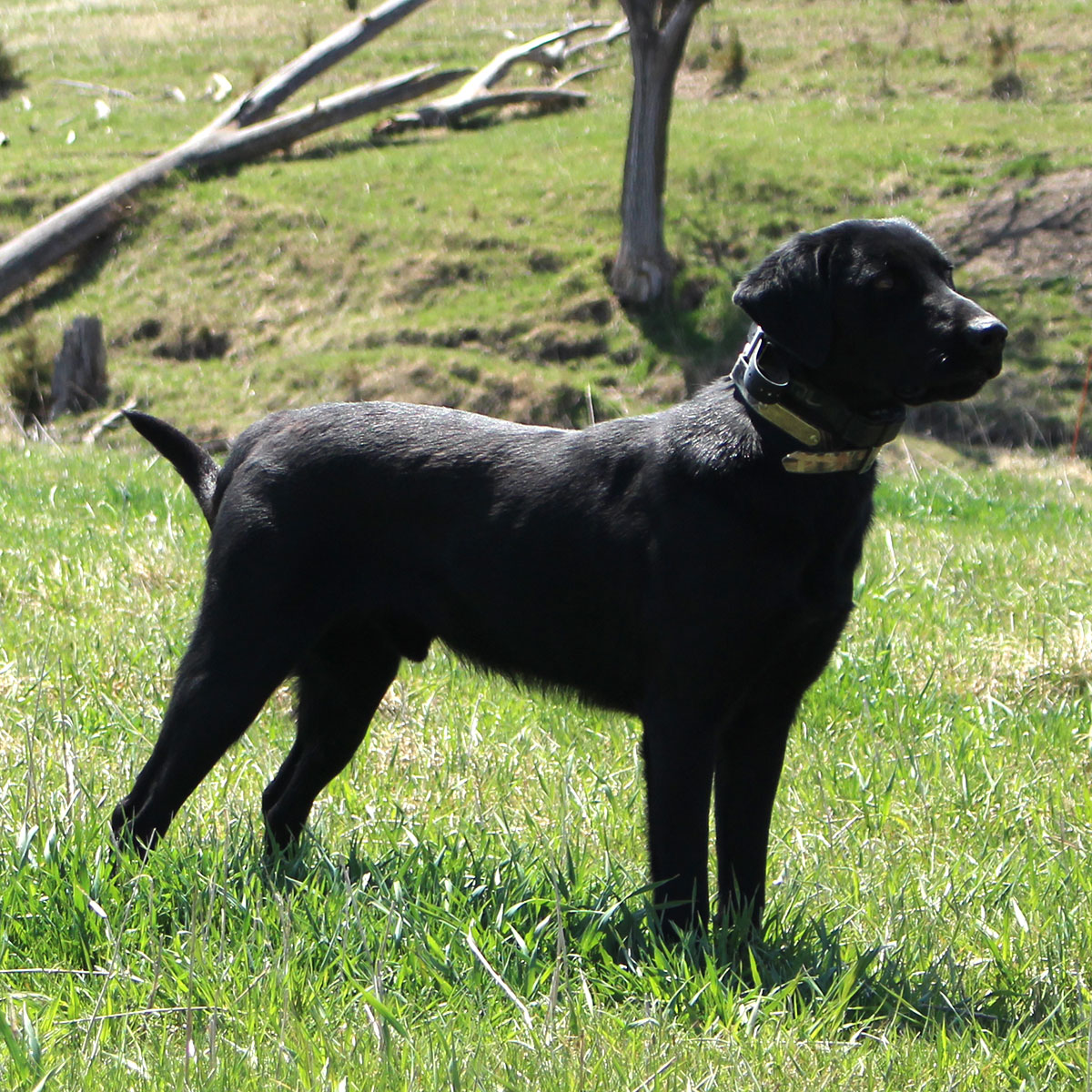 Jammer black lab