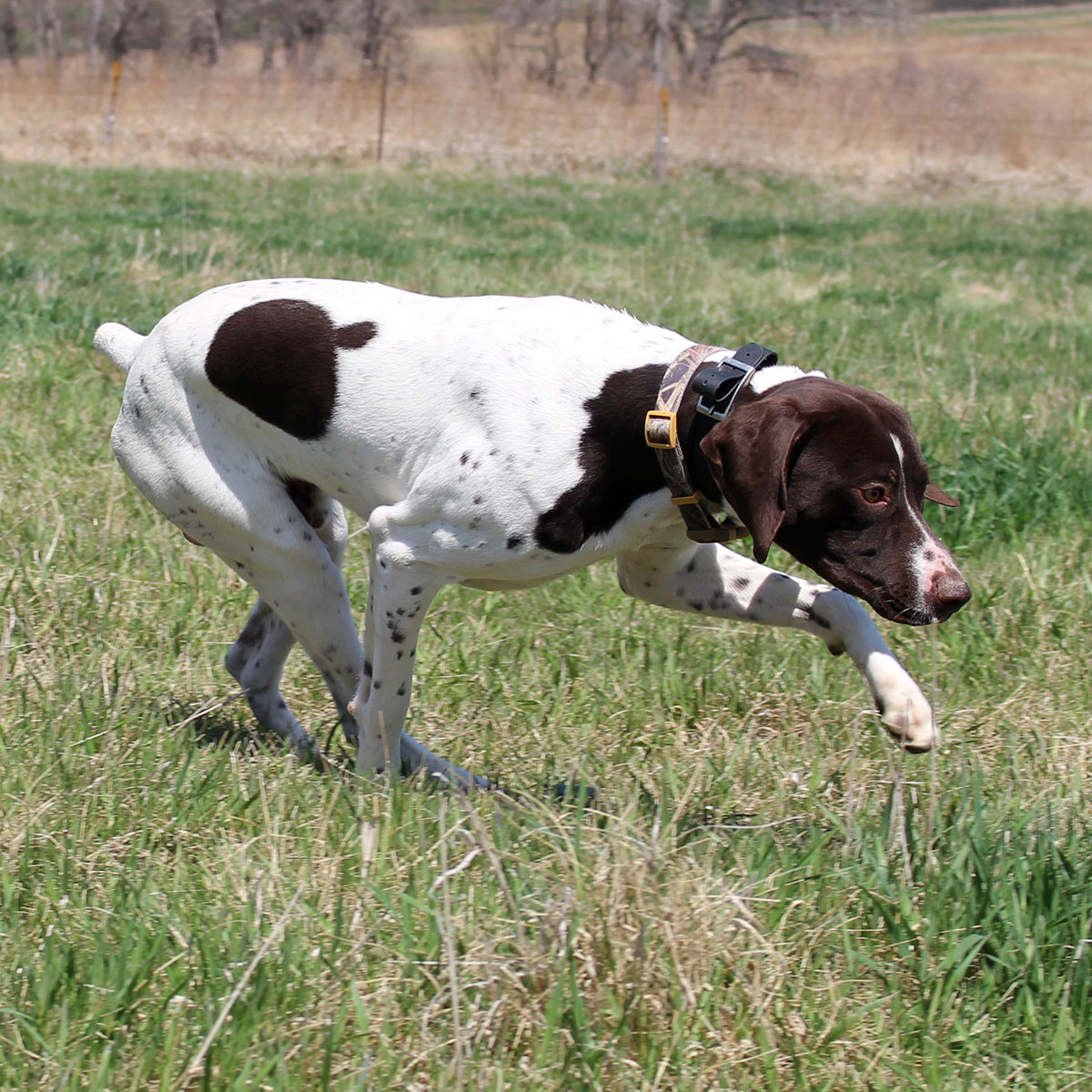 Lincoln German Shorthair Stud