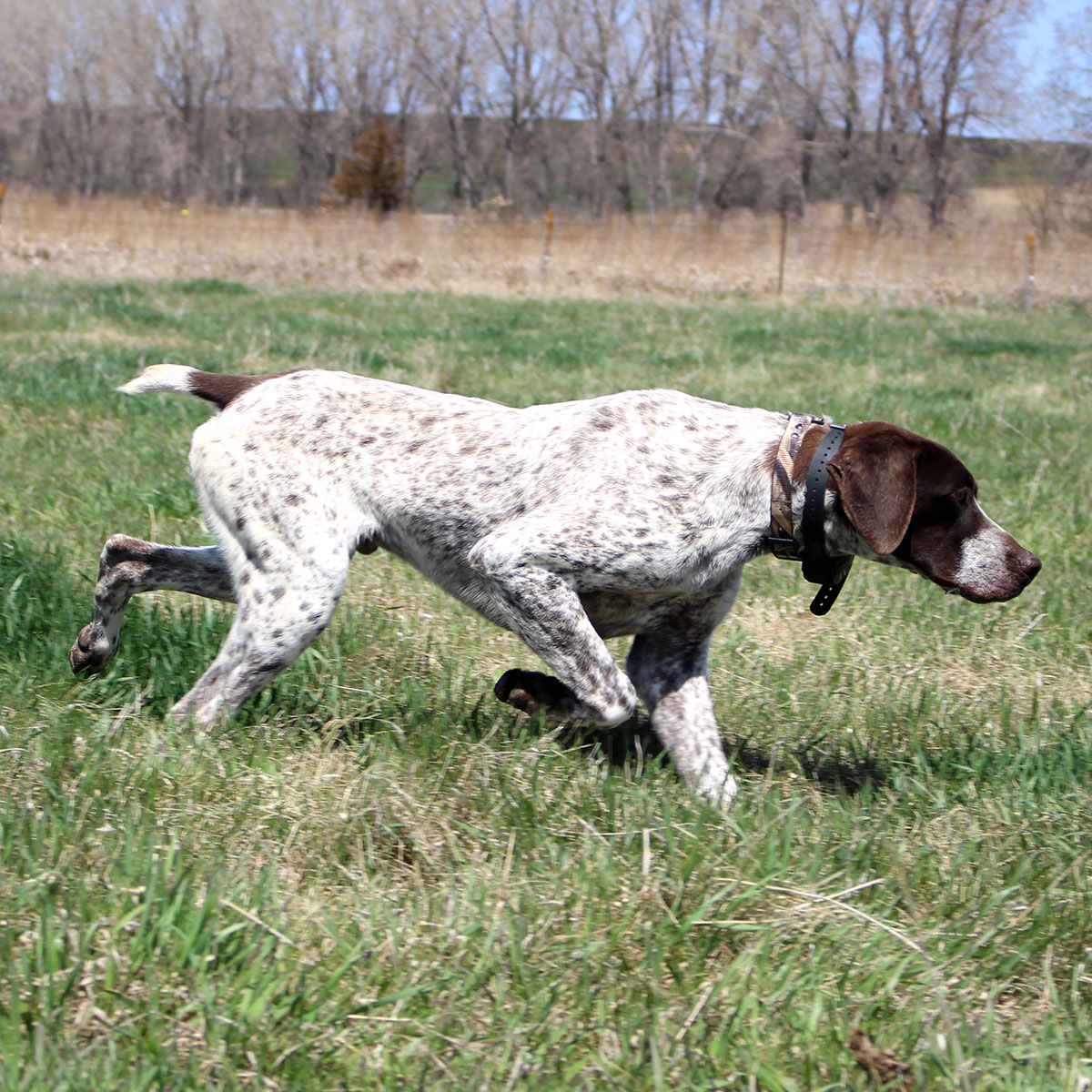 rommel german shorthair