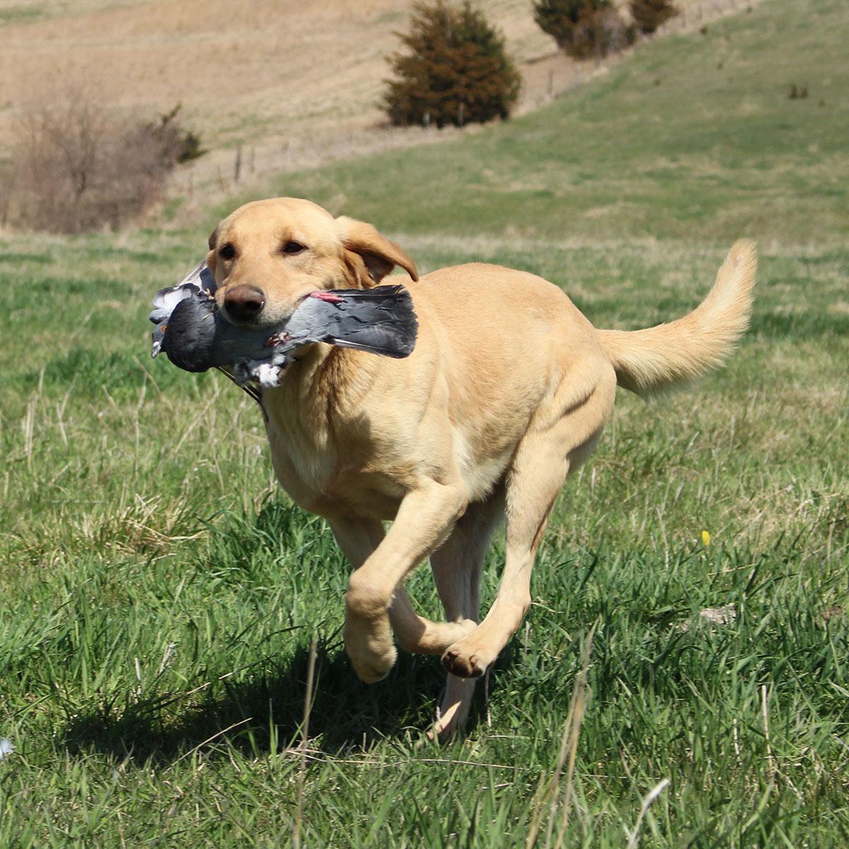 stokes Labrador Retriever Stud