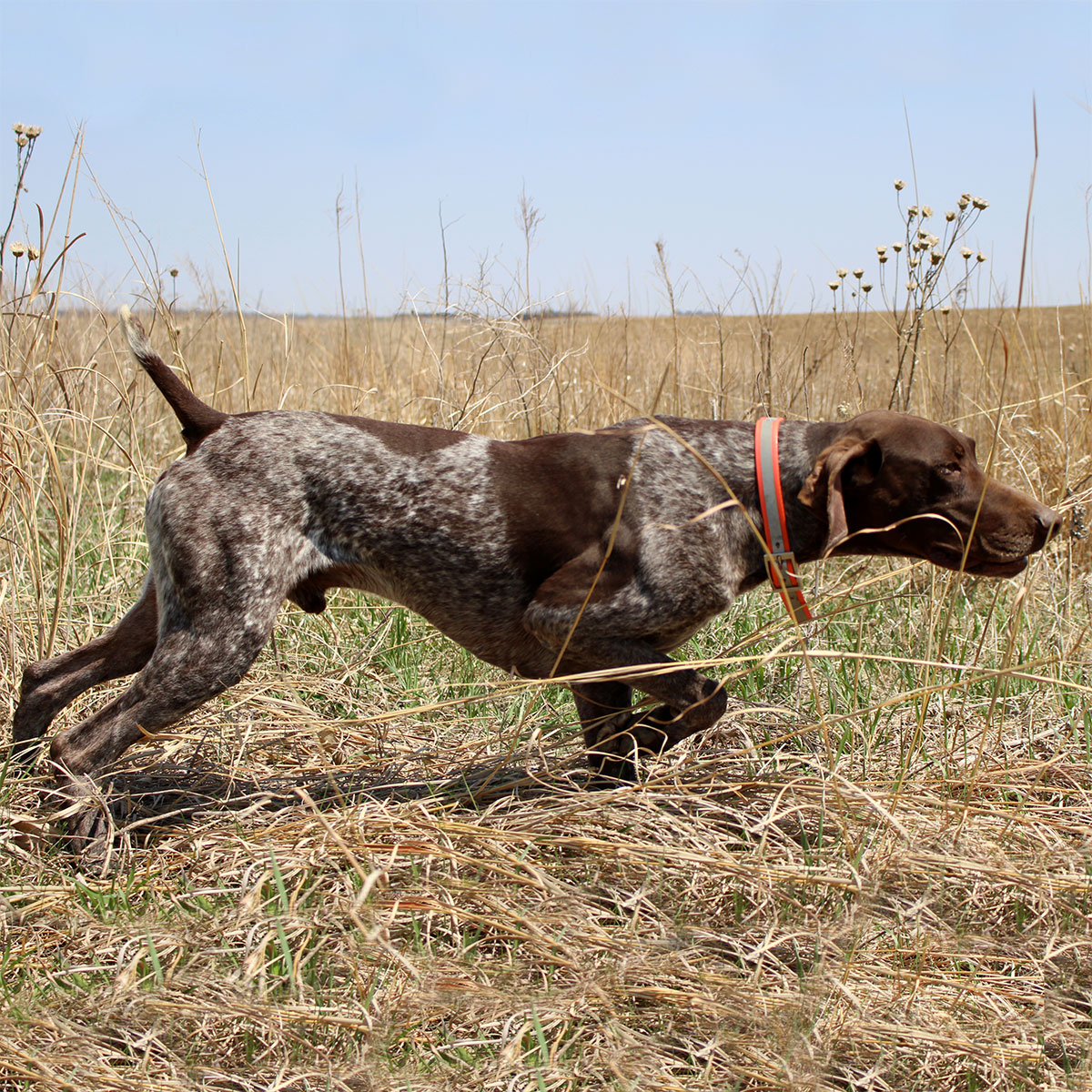 Trace German Shorthair Stud