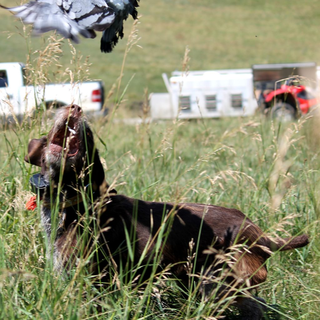 Our Dogs - Pheasant Bonanza Hunt ClubPheasant Bonanza Hunt Club